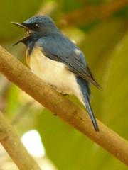 P1150813 (babsybou) Tags: travel india birds silent watching kerala du valley yatra sud inde attapadi birdswatching babsybou malleeshwaramjunglelodge pettickal