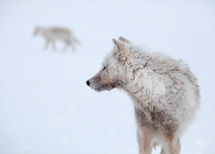 Pack Teamwork (Frankverro) Tags: canada wildlife north hunting arctic explore hunter predator nunavut alert wolfpack teamwork northpole ellesmereisland explored arcticwolf canislupusarctos