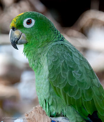 Green Parrot (Laurie-B) Tags: bird spring orlando wings flickr florida wing beak feathers feather aves fl avian gatorland laurieb dpca lbricephoto nikond300s