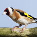 Inquisitive Goldfinch