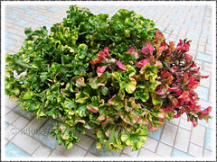 Beautiful multi-colored foliage of Alternanthera ficoidea (Joseph's Coat, Parrot Leaf, Calico Plant, Sanguinarea)