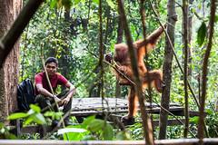 Sepi and Ranger 4521 (Ursula in Aus (Resting - Away)) Tags: animal sumatra indonesia unesco orangutan bukitlawang sepi gunungleusernationalpark earthasia
