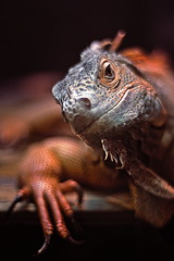 Do you come here often? (C.Kwakkestein) Tags: iceland vacation nikon d7200 1120 reykjavik zoo iguana red orange aimal reptile