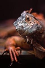 Do you come here often? (C.Kwakkestein) Tags: iceland vacation nikon d7200 tokina 1120 reykjavik zoo iguana red orange aimal reptile
