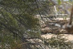 Leopard, one of the big five (Iam Marjon Bleeker) Tags: southafrica zuidafrika krugerpark wildlife luipaard bigfive oneofthebigfive leopard krugermd0c0851g2