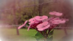 Tout en douceur (babs van beieren) Tags: fence hydrangea pink romantic garden fencedfriday floralfriday 7dwf barbedwire