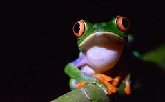 Red-eyed tree frog (justinclayton99) Tags: costa red rica tortuguero agalychnis callidryas eyed forna national park redeyed redeyedtreefrog animal wildlife frog macro closeup