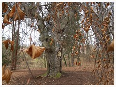 Pendula (czorneboh) Tags: sachsen saxony deutschland germany fagus beech buche htre hngebuche naturdenkmal nature tree baum arbre helfenberg helfenberger park dresden