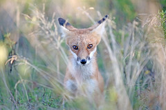 Fox Eyes (marylee.agnew) Tags: red fox canine eyes cute light color sweet nature wildlife outdoor innocent young kit mammal