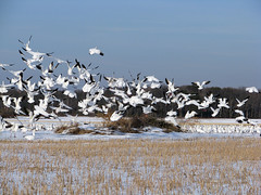 Suddenly - More Geese! (zxgirl) Tags: winter snow cold bird field birds animal animals flying geese flight nj aves goose fields waterfowl anser animalia chen s5 new drygrass anatidae jersey snowgoose anseriformes ansercaerulescens chencaerulescens bluegoose chordata img2753 nj012011