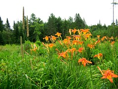 Daylilies (hickamorehackamore) Tags: flowers summer orange green me field backyard sister wildlife blossoms maine belfast daylily habitat certified nwf mysistersgarden