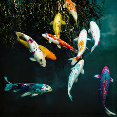 one fish, two fish... (Sarah P) Tags: fish color macro nature water square japanese textures koi carp 60mm hakonegardens flypaper colorfulkoi 500x500 onefishtwofish nikond700 winner500 magicunicornverybest magicunicornmasterpiece sarahp sliderssunday sarahputerbaugh