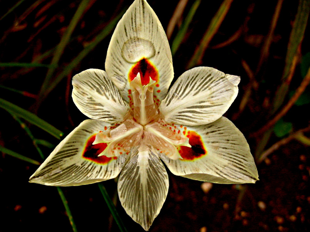 29-01-2011-dietes-bicolor-drinking2