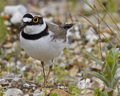 LITTLE RINGED PLOVER (tony.cox27) Tags: little plover ringed