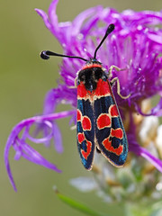 Zygne de la petite coronille (Zygaena fausta) Burnet Moth (Sinkha63) Tags: summer france macro nature animal butterfly die wildlife ngc moth lepidoptera papillon insecte burnet faune insecta rhonealpes zygaena drme zygaenidae burnetmoth et rhnealpes zygaenafausta ditrysia zygaeninae zygne chapias zygaenoidea collectionnerlevivantautrement zygnedelapetitecoronille zygnedelabruyre gettyimagesfranceq1