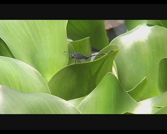 Tramea sp. (Saddlebags) (Arthur Chapman) Tags: video costarica dragonflies odonata libellulidae insecta inbio tramealacerata tramea santodomingodeheredia taxonomy:class=insecta taxonomy:kingdom=animalia taxonomy:order=odonata taxonomy:family=libellulidae taxonomy:phylum=arthropoda taxonomy:genus=tramea geocode:accuracy=200meters geocode:method=googleearth geo:country=costarica geo:region=centralamerica taxonomy:common=saddlebags