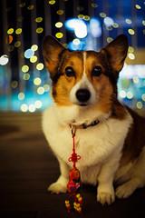 Thank you :) (moaan) Tags: leica light dog digital 50mm corgi bokeh dr chinesenewyear illuminated summicron utata welshcorgi lunarnewyear m9 goodluckcharm f20 2011 pochiko leicasummicron50mmf20dr leicam9 gettyimagesjapanq1 gettyimagesjapanq2