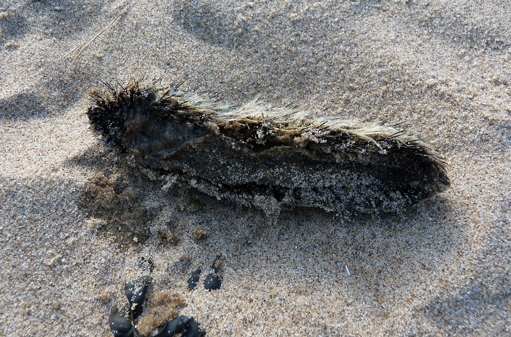 23880 - Sea Cucumber, Three Cliffs Bay, Gower