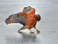 Thirst (ozoni11) Tags: lake bird ice nature birds animal animals interestingness nikon hawk lakes maryland explore raptor iced icy 31 frontpage raptors redshoulderedhawk hawks columbiamaryland d300 wildelake interestingness31 redshoulderedhawks michaeloberman explore31 howardcountymaryland ozoni11