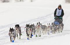 Dave Dalton (eyebex) Tags: blue winter dog dogs animals sport race cool teams team eyes 23 musher sled whitehorse fairbanks mushers yukonquest 2011 cool2 cool5 cool3 cool6 cool4 cool7 davedalton iceboxcool unanicool