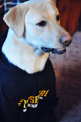 Super Bowl Sunday ~ GO STEELERS! (rachel.plowman) Tags: sid gosteelers superbowlsunday yellowlabradorretriever