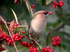 Waxwing { Birdwatching Magazine ,  Catagory winner 2011 Bird photo of the year competition} (dowicher) Tags: nature birds liverpool berries wildlife ngc citycenter bohemian waxwing 2011 specanimal catoniaster