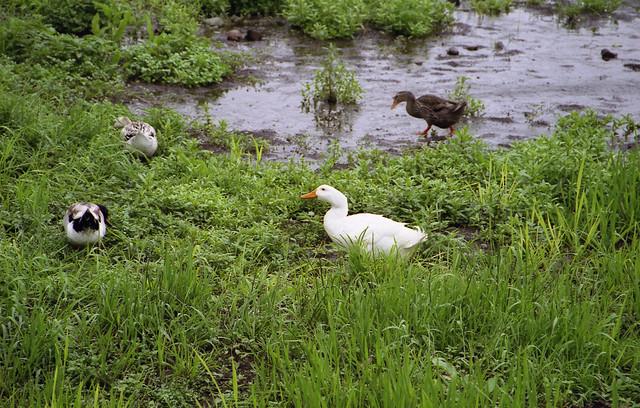 アヒル達と水辺のフリー写真素材