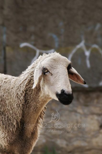 Goat 7 Mark