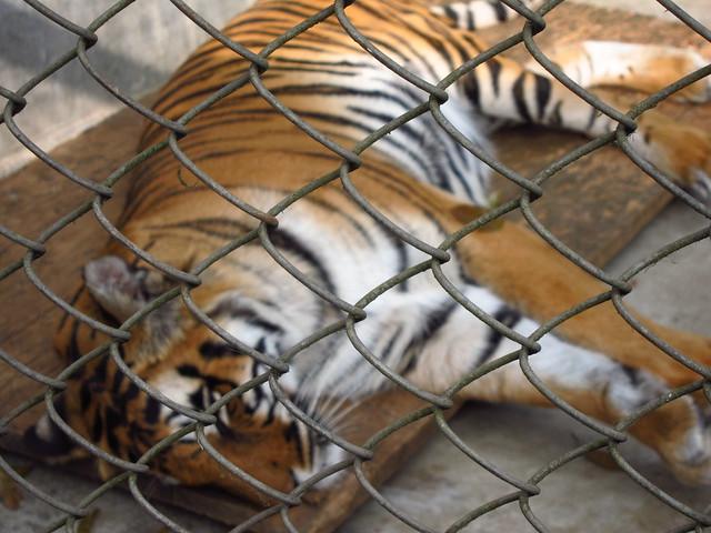 Napping tiger