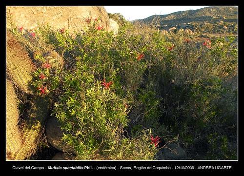 Apariencia de  (<i>Mutisia spectabilis</i>) en Socos, Región de Coquimbo.