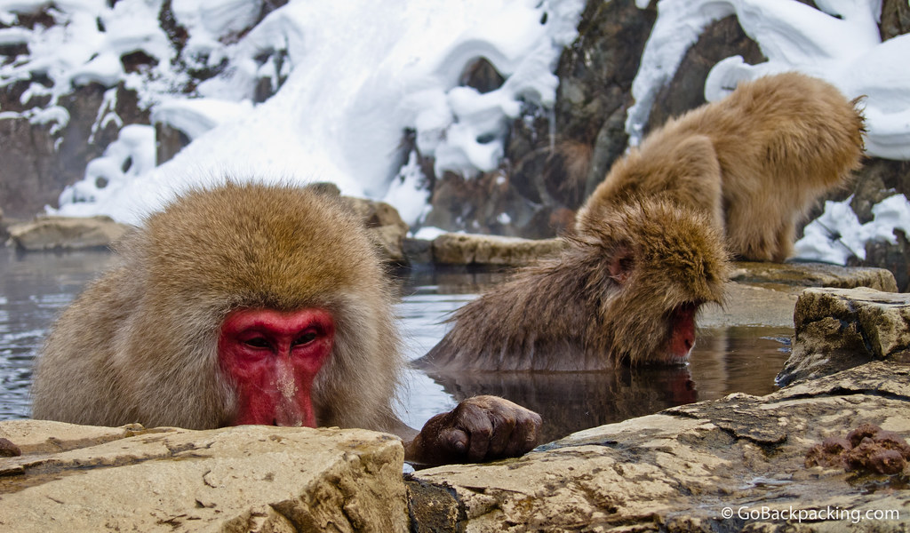 Snow monkeys bathing in and drinking from a natural hot spring.