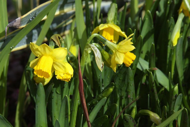 daffodils 2011