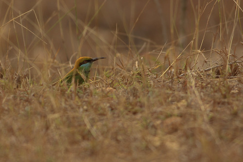 Green Bee Eater ..in the grass land