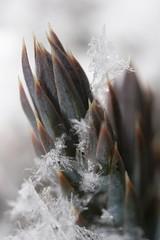 IMG_3938 (Scott Alan McClurg) Tags: snow plant cold flower macro green art ice rain closeup garden close crystal fine freezing evergreen juniper