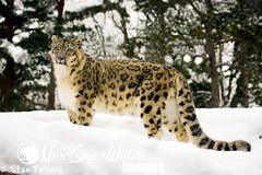 Snow Leopard (Stan Tekiela's Nature Smart Wildlife Images) Tags: winter usa mammal unitedstatesofamerica stockimages vertebrates fullbody mamalia stantekiela naturesmartwildlifewordsandimages snowleopardpantheraunciainsnow