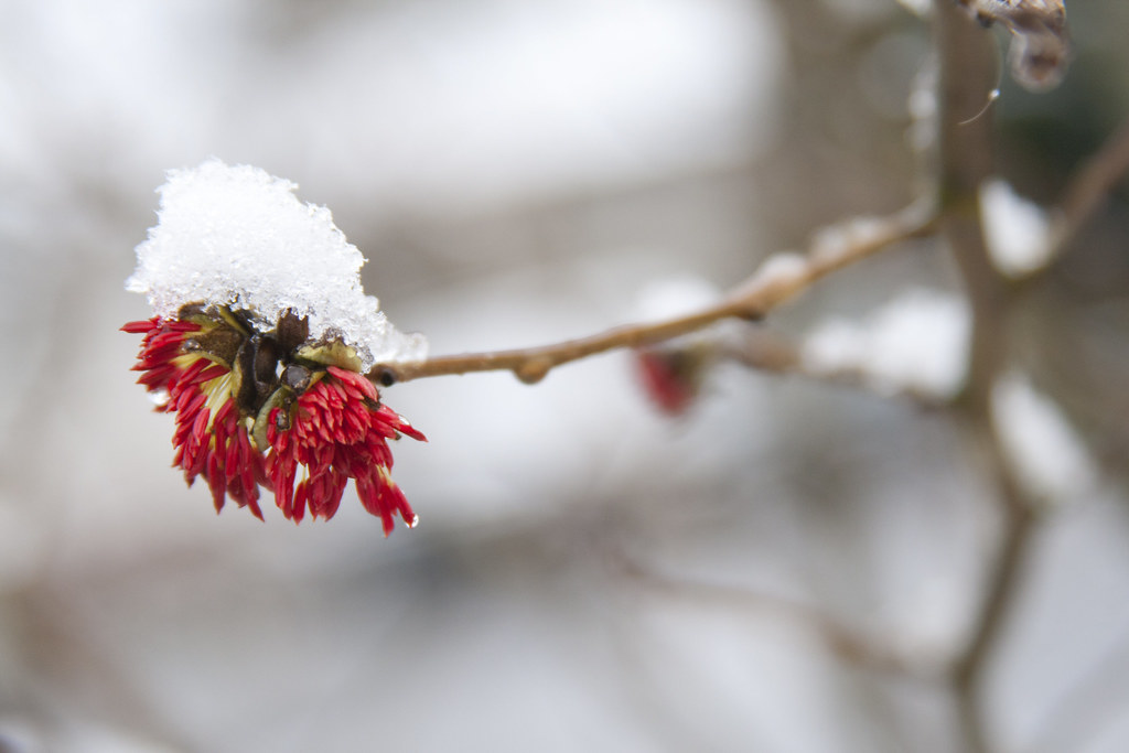 Snow on Parrotia Persica 2