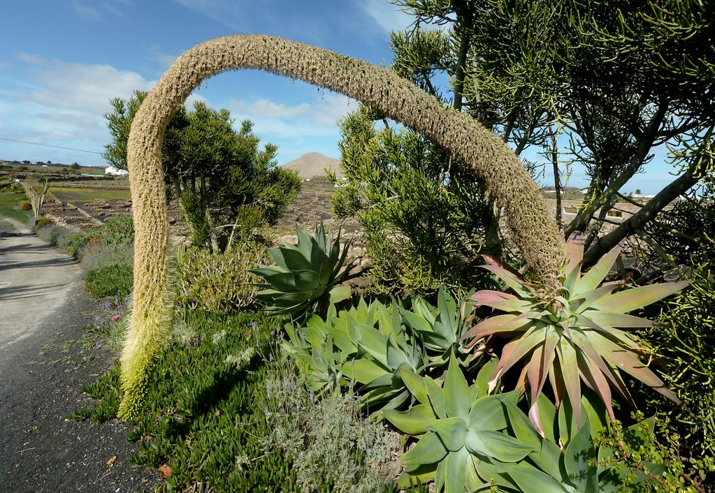 The World S Best Photos Of Agave And Lanzarote Flickr Hive Mind