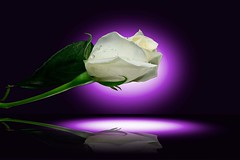 Rose (asterb) Tags: usa white flower green rose petals petal northdakota fargo awesomeblossoms