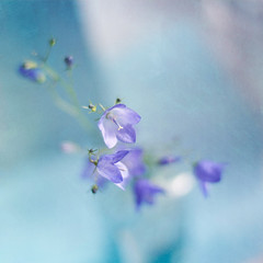Blue light (borealnz) Tags: flowers blue glass pretty stems getty vase buds delicate campanula bellflower bratanesque