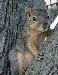Fred the Squirrel (My_Minds_Eye) Tags: tree nature animals outdoors grey squirrel critter watching fred