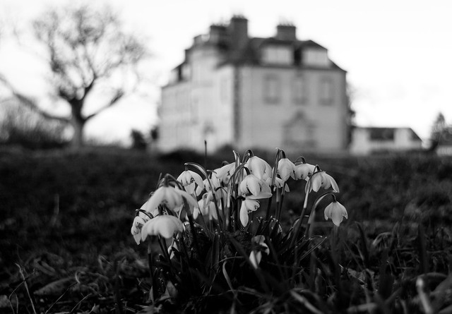 Redhall House Snowdrops