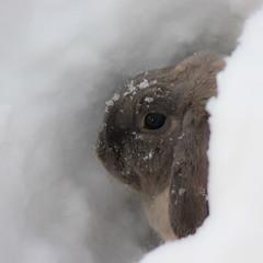 A rabbit aims for the moon. (gcarmilla) Tags: winter snow rabbit eye fur gris grigio conejo neve hiding inverno occhio pelo proverb muso coniglio pelliccia nascondersi proverbio