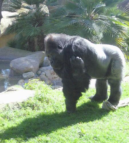 Santa Barbara Zoo Gorilla