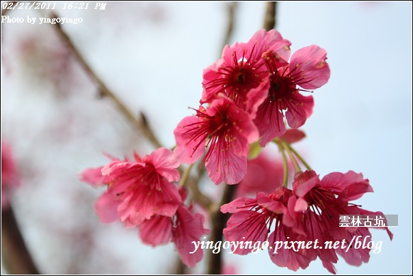雲林古坑_20110227_I6557