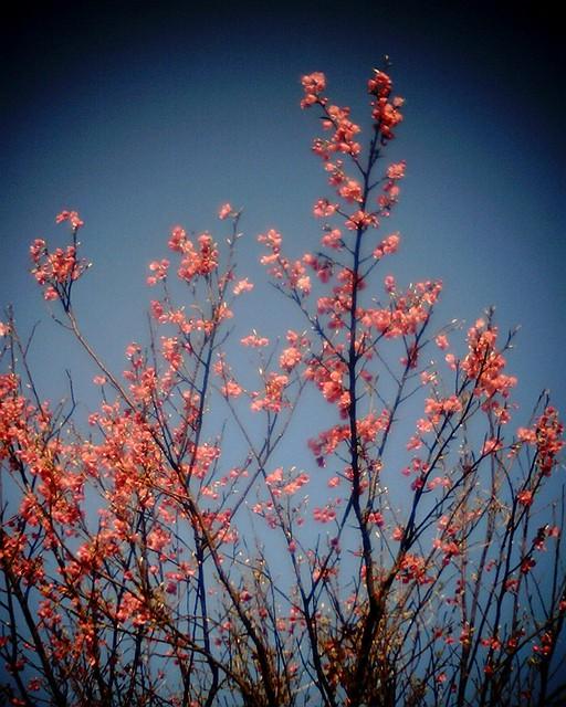 基隆山上山櫻花