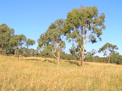 late summer, late in the day (Ace Frawley) Tags: australia canberra themedaaustralis kangaroograss grassywoodlandunderstory