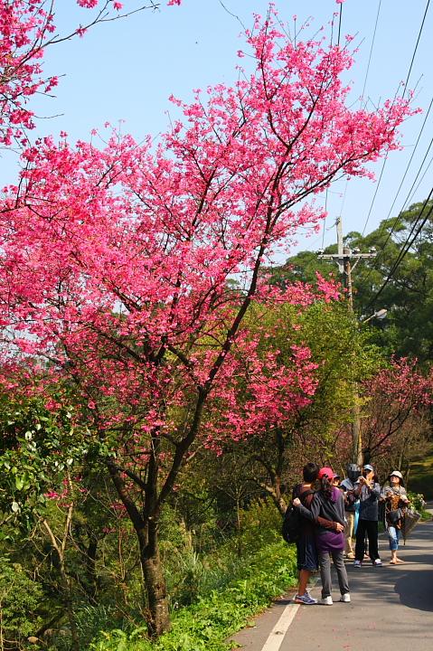 大尖山賞櫻花(聖德宮、天秀宮)038
