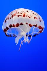 Purple-striped jelly (J-Fish) Tags: jellies jellyfish montereybayaquarium montereybay purplestripedjelly chrysaoracolorata d300s pelagiacolorata 35mmf18g