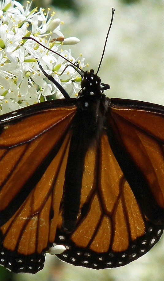 monarch butterfly 09
