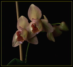 100_9111 (Jenny Barnes Photography) Tags: orchid yellow phalaenopsis phal mothorchid peloric abigfave